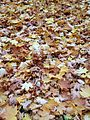 Autumn leaves in stockholm.jpg