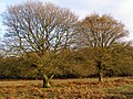 Autumnal oaks on Matley Heath, New Forest - geograph.org.uk - 285760.jpg