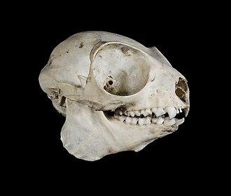 Eastern woolly lemur - The skull