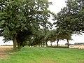 Avenue of oak trees. - geograph.org.uk - 519484.jpg