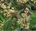 Axinaea macrophylla (14469910578).jpg