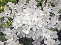 Azaleas (Newark, Ohio, USA) 5 (34583012616).jpg