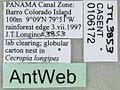 Azteca schimperi casent0106172 label 1.jpg
