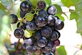 BUNCH WINE GRAPES green and purple close up (48986786716).jpg