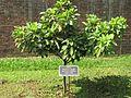 Baccaurea ramiflora (Burmese grape) tree in RDA, Bogra.jpg