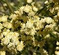 Baccharis articulata 3.jpg