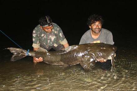 Giant Bagarius yarrelli (Goonch) caught in India. Some Goonch in the Kali river grow large enough to attack humans and water buffalo. Bagarius yarrelli India.png