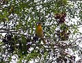 Baltimore Oriole. Icterus galbula - Flickr - gailhampshire (1).jpg