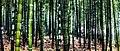 Bamboo. (4378413866).jpg