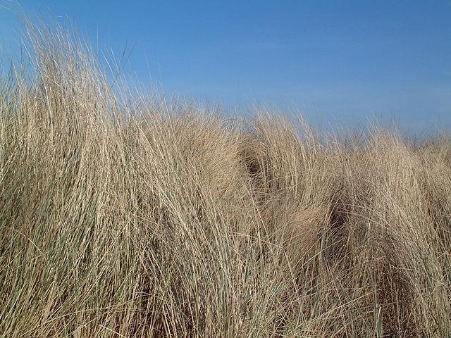 Bank-Grass