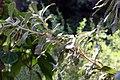 Banksia serrata 7zz.jpg