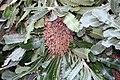 Banksia serrata 9zz.jpg