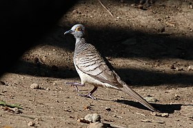 Barred dove (Geopelia maugei).jpg