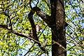 Barred owl (40640949294).jpg