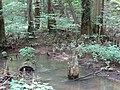 Battle Creek Cypress Swamp 41.jpg