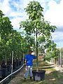 Bauhinia Tomentosa (St. Thomas Tree, Yellow Bauhinia) (28800045991).jpg