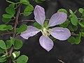 Bauhinia grandidieri — Scott Zona 001.jpg