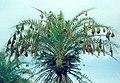 Baya Weaver Ploceus philippinus nesting colony by Dr. Raju Kasambe DSC 5420 (32).jpg