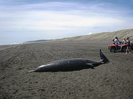 Beached whale (Mesoplodon grayi) at Port Waikato.jpg