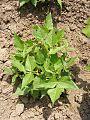 Bean-Plant 12978-360x480 (4811468156).jpg