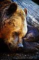 Bear (6672136647).jpg