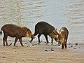 Bearded Pigs (Sus barbatus) juvenile (8221129734).jpg