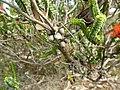 Beaufortia squarrosa (fruits).JPG
