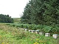 Bee hives near Larbottle, Northumberland - geograph.org.uk - 923768.jpg
