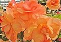 Begonia - panoramio (5).jpg