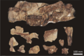 Beipiaosaurus holotype fossil.png