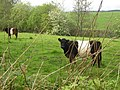 Belted Galloway cattle grazing in a field by the road - geograph.org.uk - 432951.jpg
