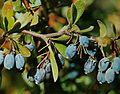 Berberis libanotica.jpg