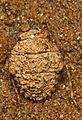Big-eyed Toad Bug - Gelastocoris oculatus, Lock Seven, Glen Echo, Maryland.jpg
