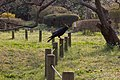 Big A Crow (214473051).jpeg