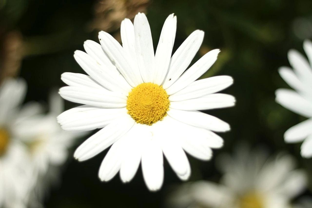 Filebig White Flower Detailed Photog Wikimedia Commons