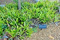 Billbergia pyramidalis - Marie Selby Botanical Gardens - Sarasota, Florida - DSC01317.jpg
