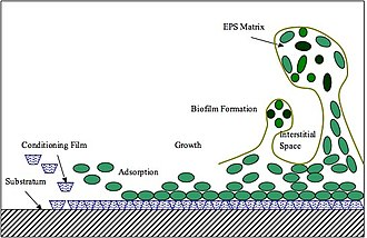 """Biofouling - Biofouling initial process: (left) Coating of submerged """"substratum"""" with polymers. (moving right) Bacterial attachment and extracellular polymeric substance (EPS) matrix formation."""