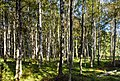 Birches in a pasture in Gullmarsskogen 3.jpg