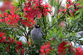 Bird on Bottlebrush (6226076090).jpg