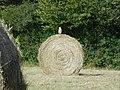 Bird on round straw bale.jpg