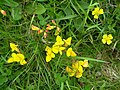 Birds' Foot Trefoil - geograph.org.uk - 610098.jpg