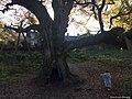 Birnam Oak (6).jpg