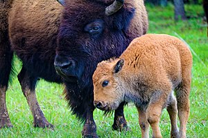 Woolaroc - Bison on the Woolaroc Wildlife Preserve