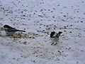 Black-capped Chickadee Poecile atricapillus6.JPG