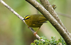 alt=Description de l'image Black-crested Warbler (Basileuterus nigrocristatus).jpg.