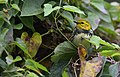 Black-throated Green Warbler (29806830610).jpg