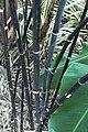 Black Bamboo Stems.JPG