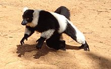 Black and White Ruffed Lemur 3.JPG