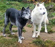 Photograph showing one black and one white furred wolf standing alongside each other