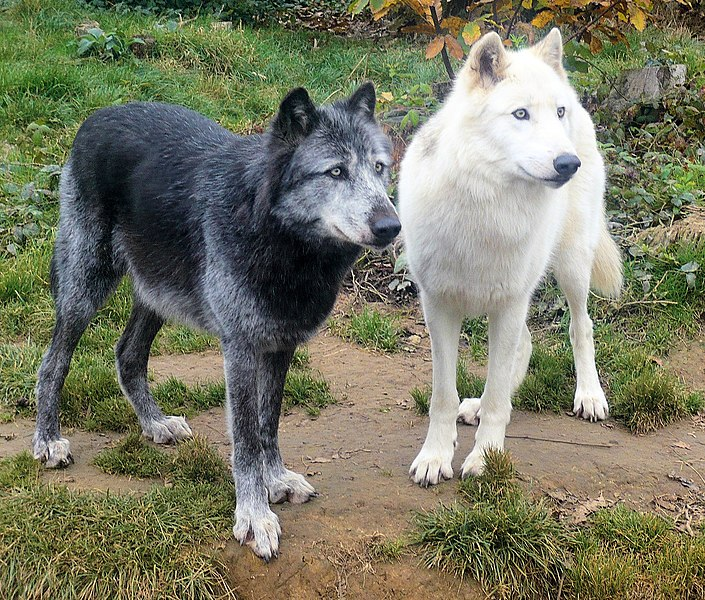 White wolfdog puppies